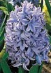 Hyacinth-Delft-Blue