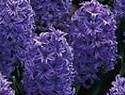 Hyacinths blue