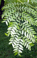 Locust Thornless honey Gleditsia triacanthos inermis leaves