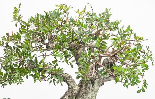Mastic tree Pistacia-lentiscus-