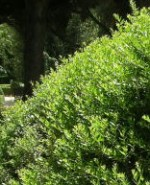 Myrtle Myrtus communis bush