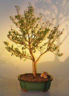 Myrtle Myrtus communis