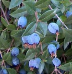 Myrtle myrtus_communis_berries
