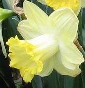 Narcissus Pistachio 3 D