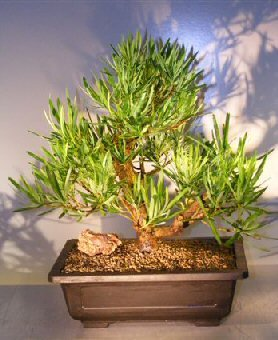 How to Care for Bonsai: Southern Yew (Podocarpus macrophyllus) Podocarpus House Plant on pleomele house plant, sansevieria house plant, eucalyptus house plant, ficus house plant, fittonia house plant, peperomia house plant, variegated ivy house plant, philodendron house plant, iris house plant, croton house plant, zamia house plant, holly house plant, asparagus house plant, olive house plant, lantana house plant, rhododendron house plant, camellia house plant, araucaria house plant, ardisia house plant, bamboo house plant,