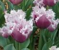 Tulip Cummins 2