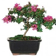 How To Care For Bonsai Crepe Myrtle Lagerstroemia Indica