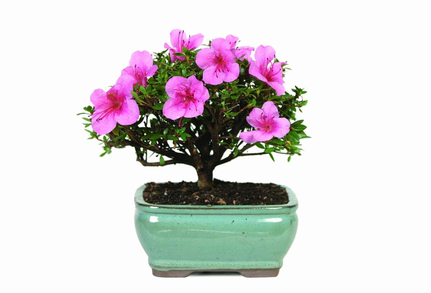 How To Care For Bonsai Satsuki Azalea