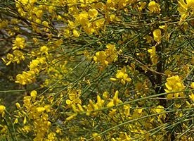Genista aetnensis Mt. Etna Broom