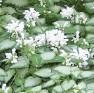 lamium-maculatum-white-nancy c flowers