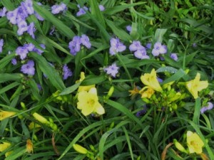 Daylily Happy-returns-n-tradescantia1