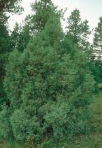 Juniperus_Rocky Mt J scopulorum Dave Powell, USDA Forest Service