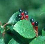 Sassafras_albidum_fruit