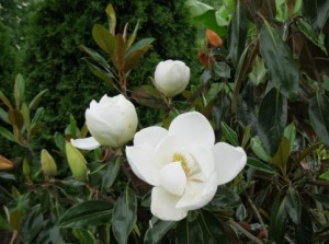 magnolia-little-gem-3-stages-of-flowers