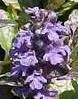 Ajuga Purple Brocade fl