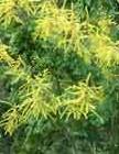Golden rain tree Koelreuteria paniculata tree