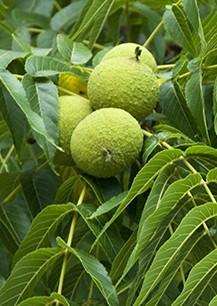 Juglans nigra black walnut