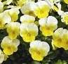 Viola Penny primrose