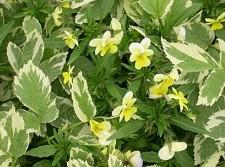 bishops-weed Aegopodium podagraria Variegatum pansies