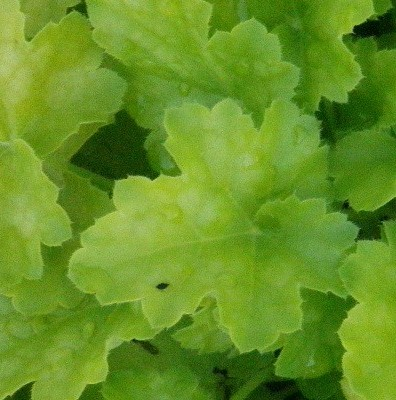 heuchera_key_lime_pie_