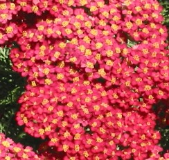 Achillea millifolium Paprika huge