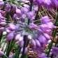 Allium thunbergii Ozawa 3
