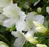 Azalea Rho Delaware Vallkey White detail