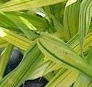 Bamboo Yel striped Arundinaria viridistriata