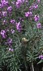 Erysimum linifolium Bowle Mauve