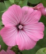 Lavatera-trimestris-silver-cup-rose-mallow