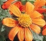 Tithonia rotundifolia ÔFiesta Del SolÕ