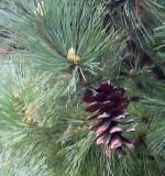 Pinus_peuce_needles n cones Wiki