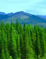 coniferous-forest