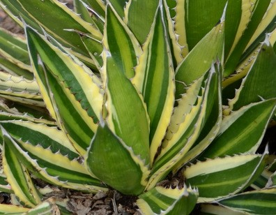 Agave center strip