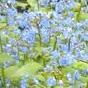 Brunnera_macrophylla Bugloss _Jack_Frost