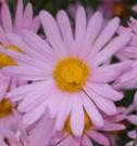 Chrysanthemum -rubellum Clara-Curtis'