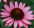 Coneflower Pixie Meadowbright