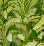 Sedum alborosceum Mediovariegatum 2
