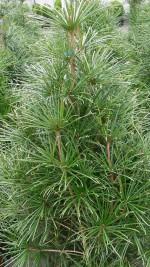 Plant Profile Japanese Umbrella Pine Sciadopitys Verticillata