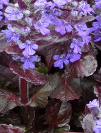 ajuga black scallop c flowers