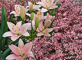 asiatic lily-barberry combination