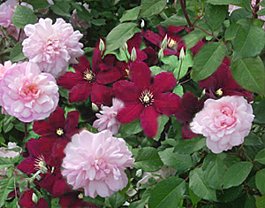 clematis-rose combination