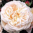 rose grussanaachen detail