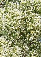 Baccharis halimiifolia bush
