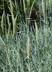Grass Sea lyme Leymus arenarius