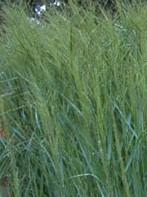 Grass Switch Panicum virgatum Prairie Sky