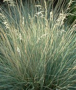 Helictotrichon sempervirens - Blue Oat Grass
