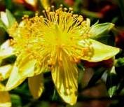 Hyppericum adpressum