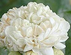 Jasmine sambac Grand Duke of Tuscany