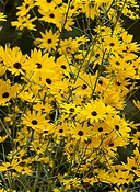 Helianthus angustifolia swamp sunflower